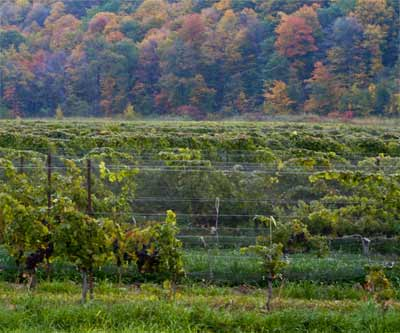 Vines below Woodend Conservation Area along the Niagara Escarpment